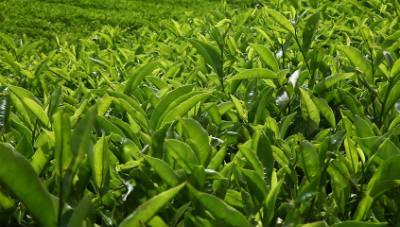 arbusto te verde