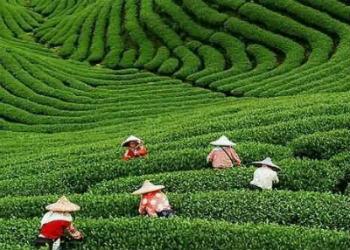 plantacion te china