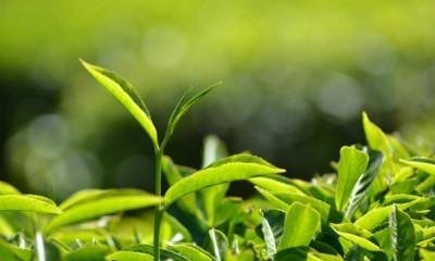 planta te verde