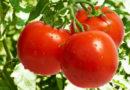 Cómo plantar tomates paso a paso en un huerto casero