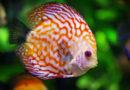 ¿El rey del acuario? Conoce al pez disco y sus características