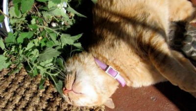 catnip y los gatos