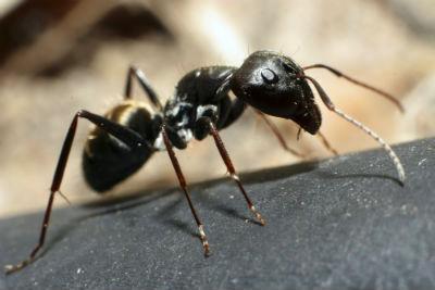 Hormigas