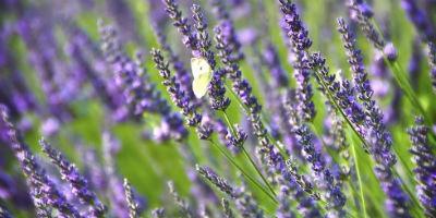11 plantas medicinales que puedes cultivar en casa el - Cultivar lavanda en casa ...