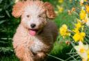 El perro de agua español, un perro cariñoso y polivalente