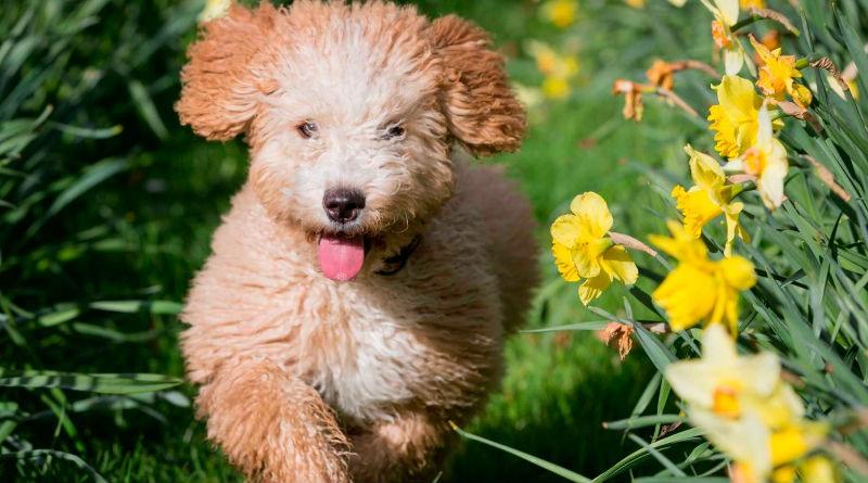 Raza perro de agua Espanol
