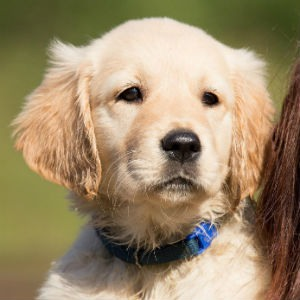 Cachorros del perro Golden Retriever
