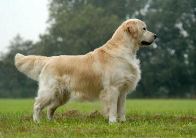 Caracteristicas fisicas del perro Golden Retriever