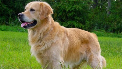 Como alimentar a un perro Golden Retriever