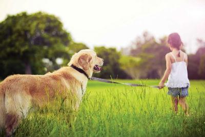 Educacion y adiestramiento del perro Golden Retriever