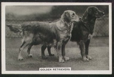 Origen del perro Golden Retriever
