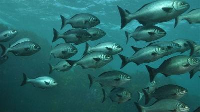 Que son los peces