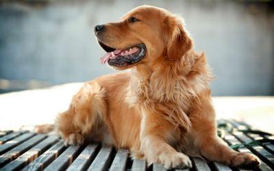 Salud y enfermedades del perro Golden Retriever