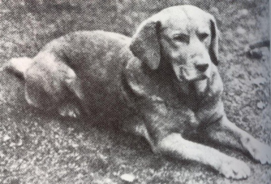 Ben of Hyde primer labrador amarillo reconocido