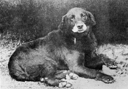 Buccleuch Avon 1885 Perro base en las lineas del labrador moderno.