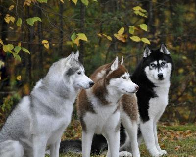 Historia y origen del perro Husky Siberiano