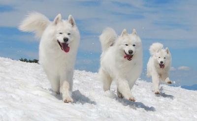 La raza de perros Samoyedo