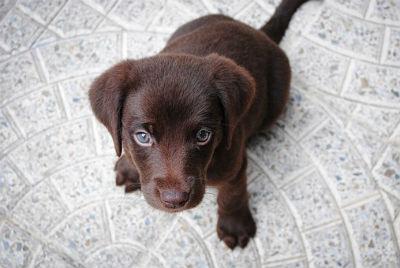 Labrador Retriever cachorros