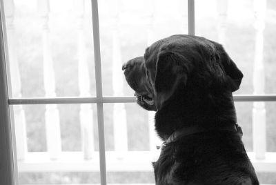 Labrador Retriever cuidados