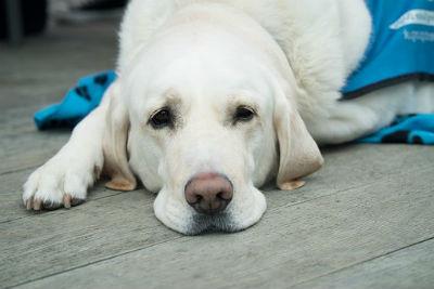 Labrador Retriever personalidad