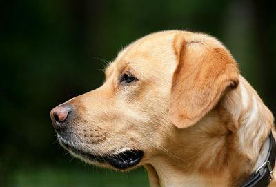Labrador Retriever sus caracteristicas