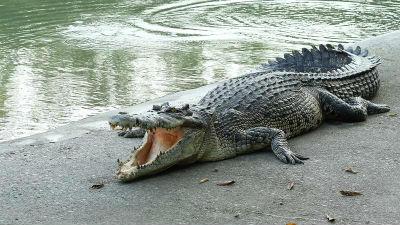 Sonar con cocodrilos