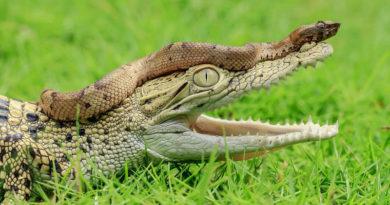 Sonar con serpientes o cocodrilos