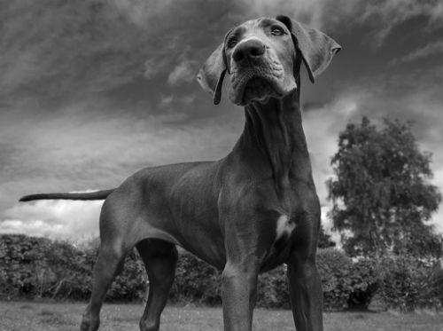 cachorro de gran danes
