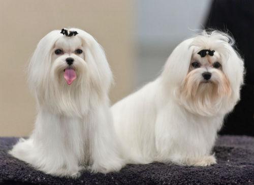 bichon maltes perro