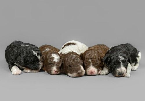 cachorros perro de aguas