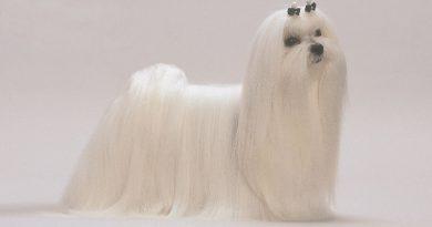El Bichón Maltés: todo sobre esta raza de perro