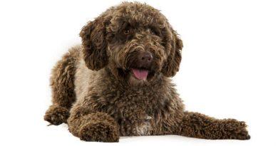 El perro de agua español: cuidados, características, alimentación y mucho más