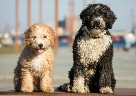 perros de aguas