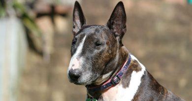 Conoce las ventajas de adoptar un perro de raza Bull Terrier miniatura