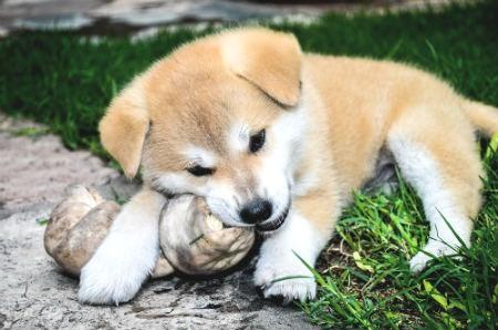cachorro akita inu