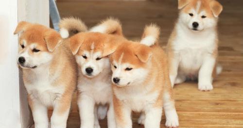 cachorros raza akita