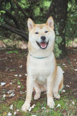 perro raza akita