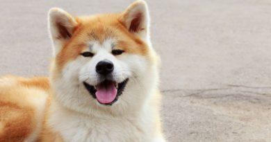 precio perros akita
