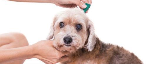 antiparasitario para tu mascota