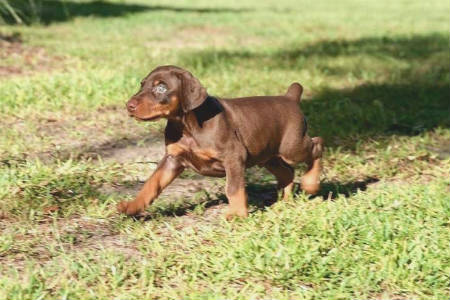 cachorro doberman chocolate