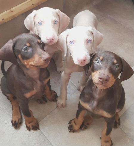 cachorros perro doberman