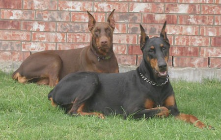 color pelo doberman