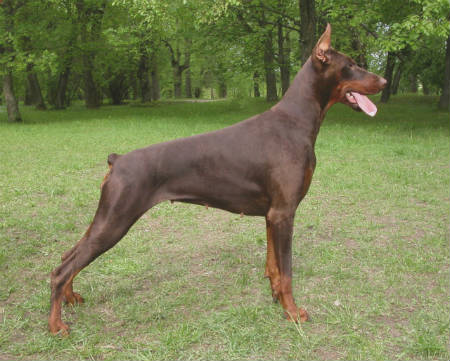 doberman marron