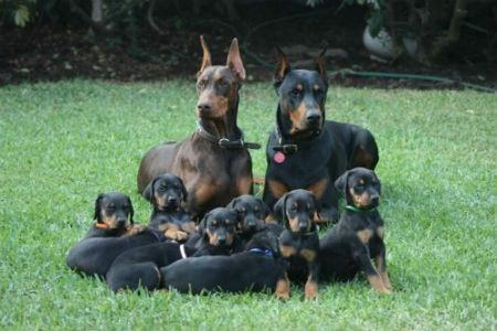familia doberman