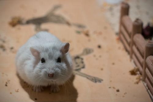 buena mascota hamsters