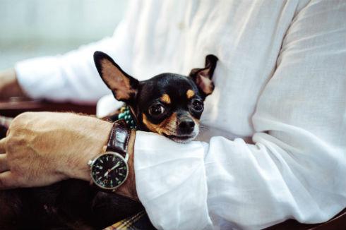informacion sobre perro chihuahua