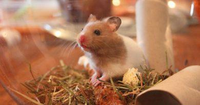 mascota hamster