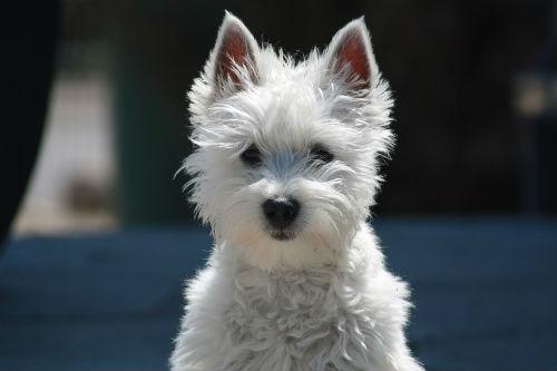 cachorro westy