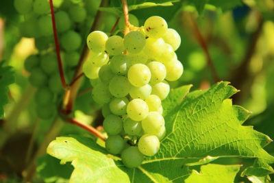 Uvas vino