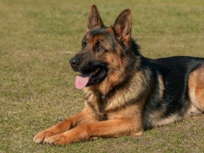 conoce al perro pastor aleman